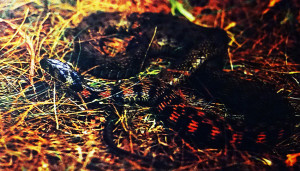Rhabdophis tigrina 1991 - 2019 1