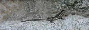 Cyprus 2018 lizard