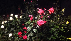 Adil 2019 october roses ed