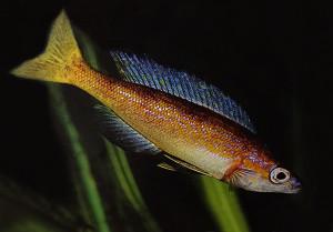 Cyprichromis microlepidotus ed