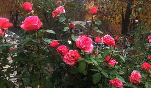Adil 2019 november roses ed