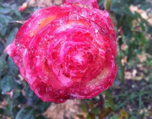 Adil 2019 roses november 2 ed