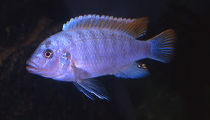 Cynotilapia sp. fleeti 2019