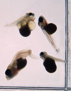 Malawi larvae eggs 2019 1
