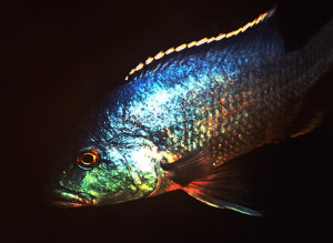 Nimbochromis livingstoni male re