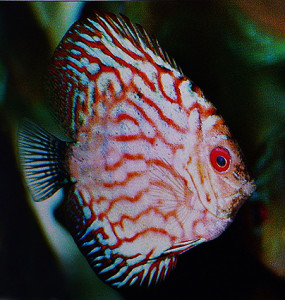 Discus Red Turquose re 1 ed