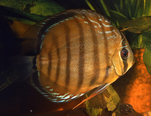 Discus brown 2018