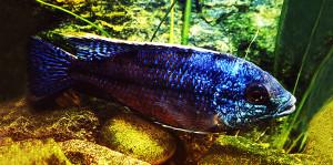 Haplochromis boadzulu 1989 2020