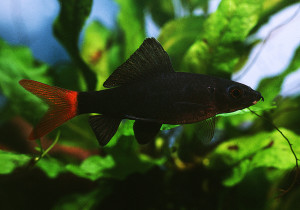 Labeo bicolor adult ed 2020