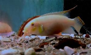 Pelvicachromis pulcher maes 2019 38