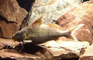 53 Hemisynodontis membranaceus golden mutant 15 cm long ed
