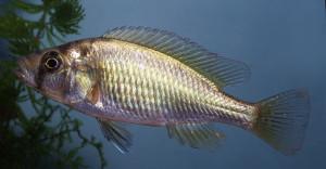Haplochromis sp Victorian WCTAB ed 1