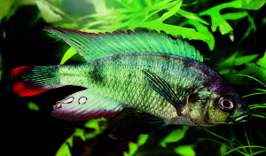 Neochromis nigricans