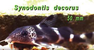 Synodontis decorus latvae 2020 3