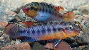 Congochromis sp 2020