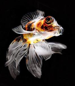 Gold fish strain 2018