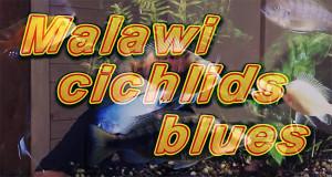 Malawi cichlids Blues 2020