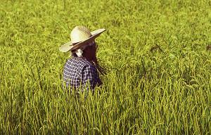 Rice field Niigata 2020