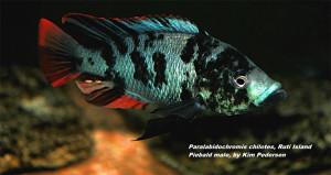 Paralabidochromis chilotes Ruti Island 2020