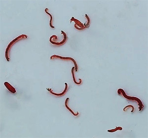 Bloodworms 2017