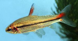 Nanaethiops unitaeniatus ed