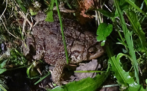 Toad dacha2020 18 June