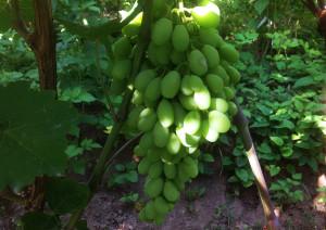 Adil 2020 grapes
