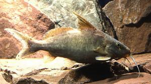 Hemisynodontis golden mutant 15 cm long ed
