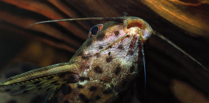 Synodontis mouth ed