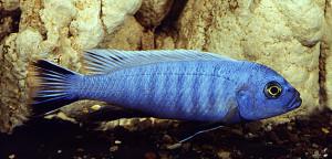 Psedotropheus socoloffi (pindani)