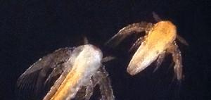 Artemia_nauplii 2020