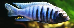 Pseudotropheus zebra BB re