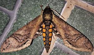 Butterfly - pedromapiposa 2020 nov 1