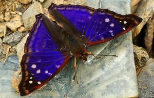 Butterfly - pedromapiposa 2020 nov 18