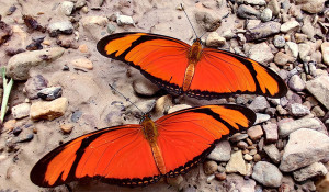 Butterfly - pedromapiposa 2020 nov 26