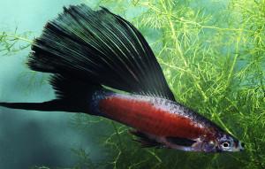 Xiphophorus helleri 2020 ed