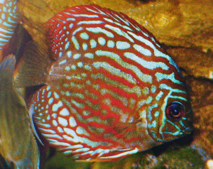Discus red-turquose Hong-kong re
