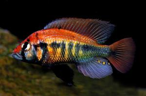 Haplochromis Rainbow 2014 ed