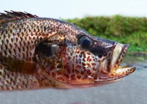 Haplochromis sp Mweru