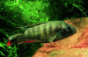 Haplochromis sp Victorian WCTAB ed