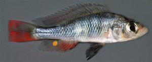 Haplochromis sp. 2020 Victoria