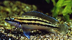 Julidochromis dickfeldi 2019