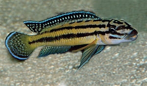 Julidochromis marksmithi 2019