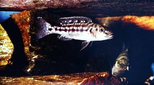 Lepidolamprologus elongatus 1978-2021