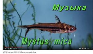 Mystus mica video WCTAB 2002