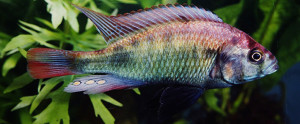 Neochromis nigricans common color re