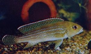 Neolamprologus tetracanthus 1980 - 2021