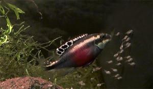 Pelvicachromis pulcher maes 2019 36