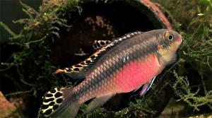 Pelvicachromis pulcher pair 2019 23