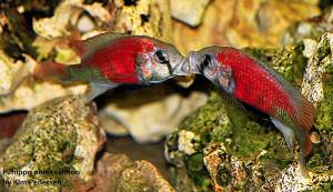 Rare African Cichlids 2020 ed